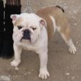 English bulldog for sale - JUNIOR