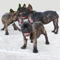 French Bulldog for sale - Juniors