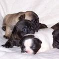 French Bulldog for sale - Puppies