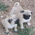 PUG for sale - Puppies